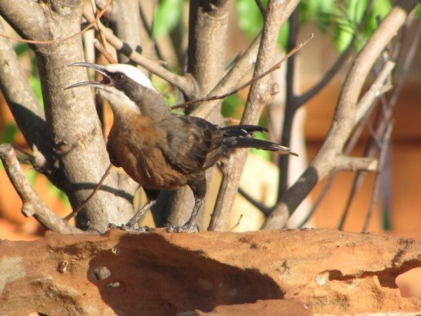 Grey-crowned Babbler (4)