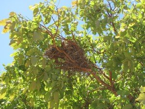 Grey-crowned Babblers day nest