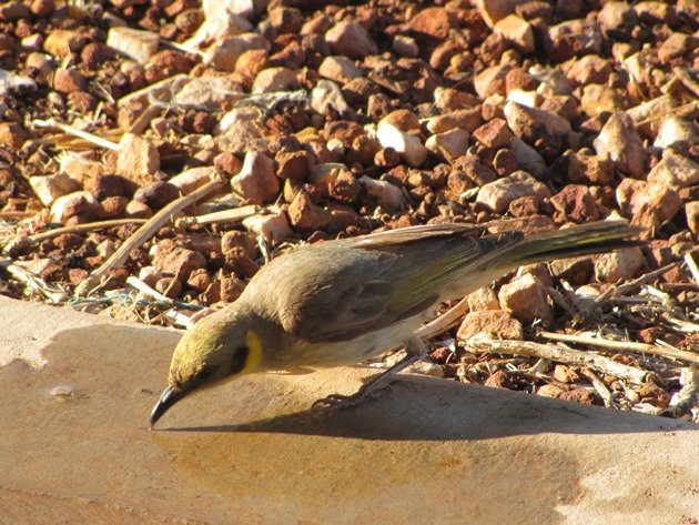 Grey-fronted Honeyeater (5)