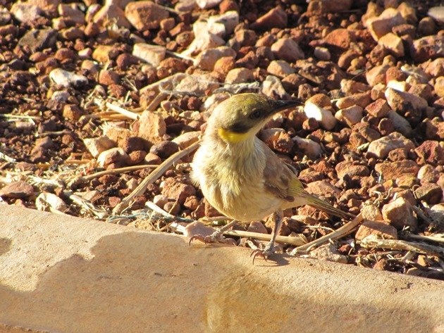 Grey-fronted Honeyeater (7)
