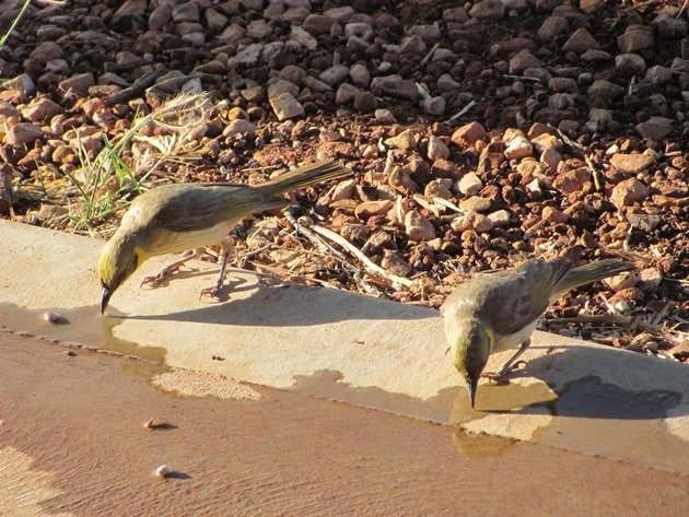 Grey-fronted Honeyeaters (3)