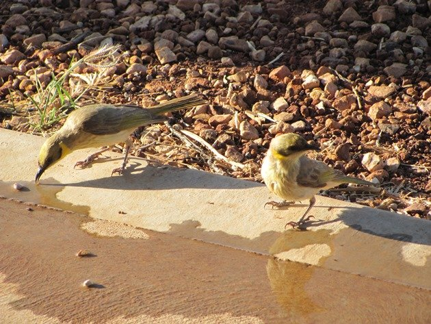 Grey-fronted Honeyeaters (4)