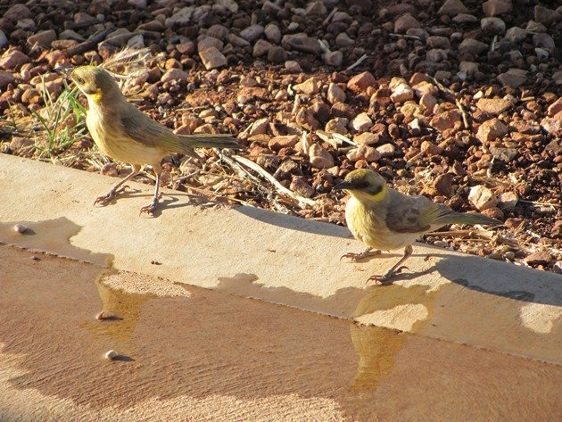 Grey-fronted Honeyeaters