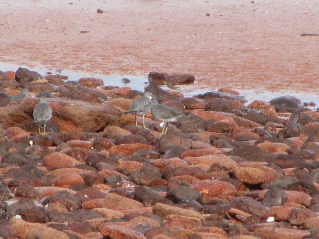 Grey-tailed Tattler 35 (2)