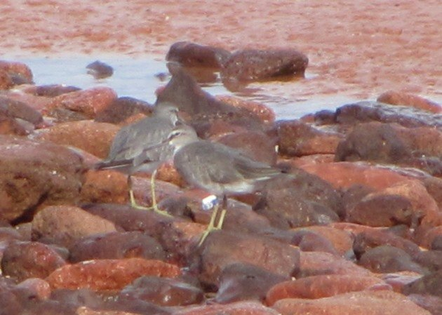 Grey-tailed Tattler 35