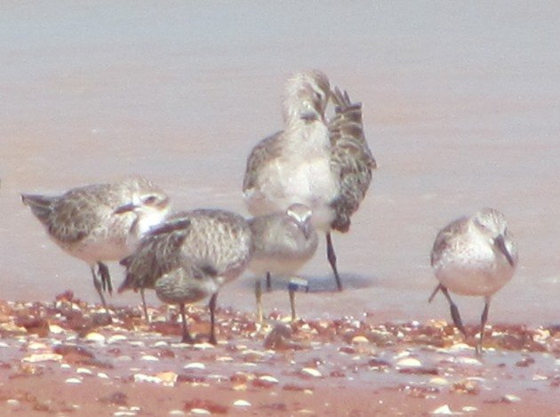 Grey-tailed Tattler flagged Taiwan 2012 - Cropped