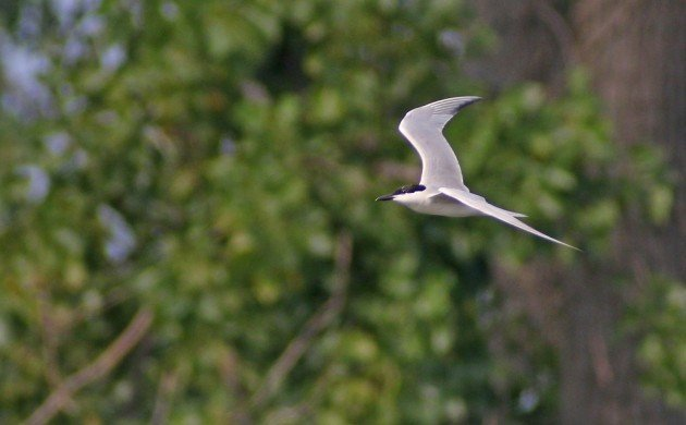 Gull-billed Tern at Jamaica Bay