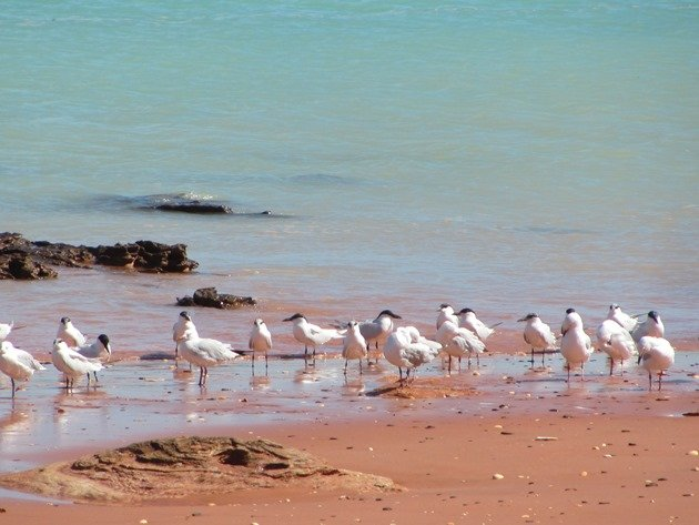 Gull-billed Terns & Silver Gull