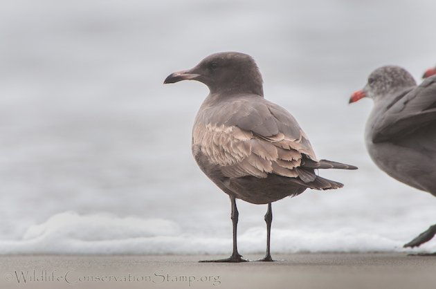 Heermann's Gull Juvenile