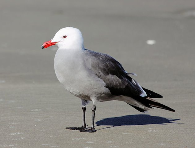 Heermann's Gull in Breeding Plumage