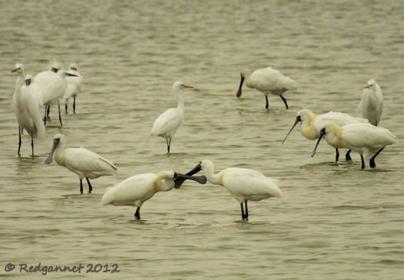 HKG 23Mar12 Black-faced Spoonbill 08