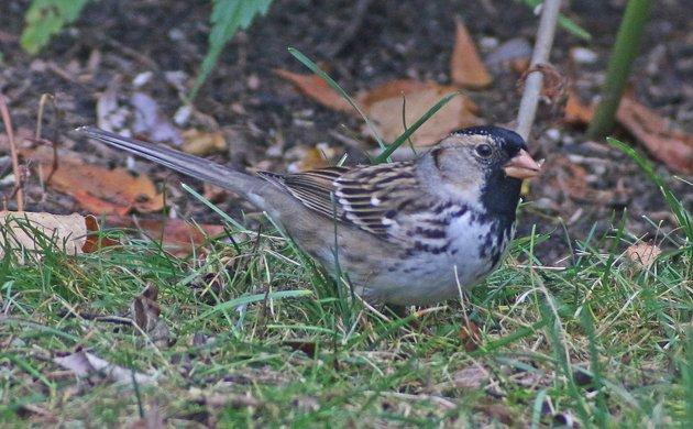 Harris's Sparrow in Loudonville, New York