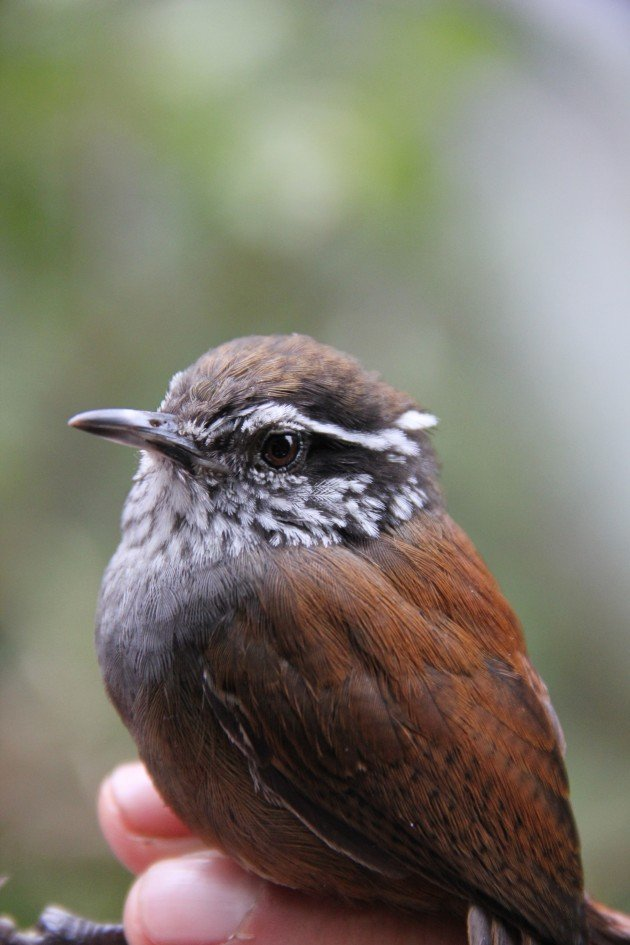 Munchique Wood-wren