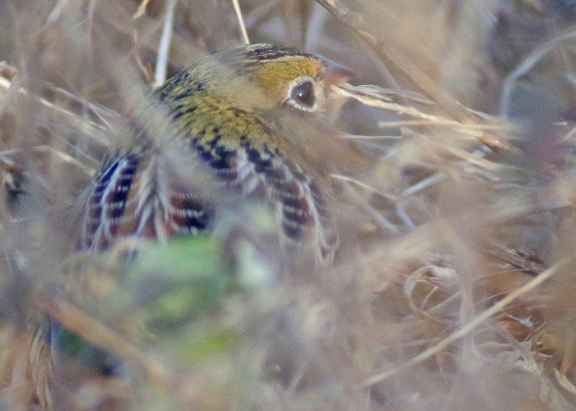 Henslow's Sparrow eating grass seeds