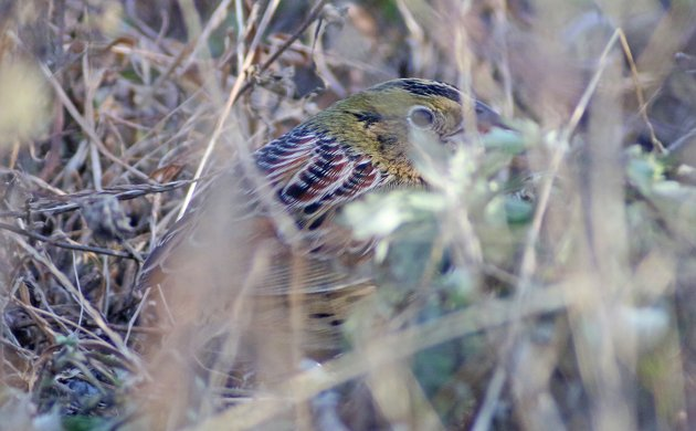 Best Bird of the Weekend (Fourth of November 2014)