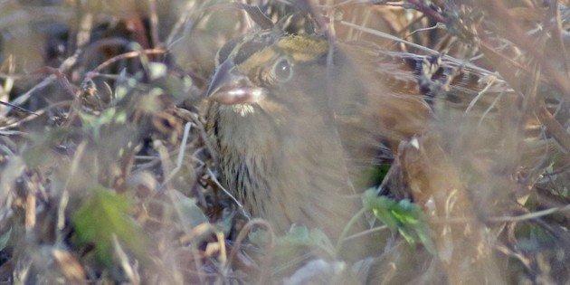 Henslow's Sparrow at Jacob Riis Park, Queens, New York