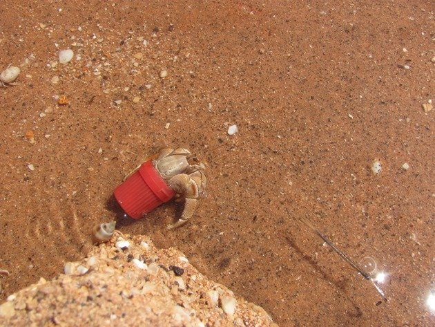 Hermit Crab in lid