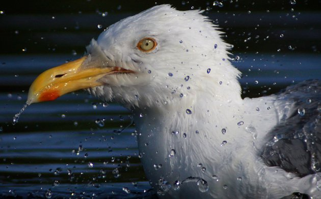 bathing Herring Gull