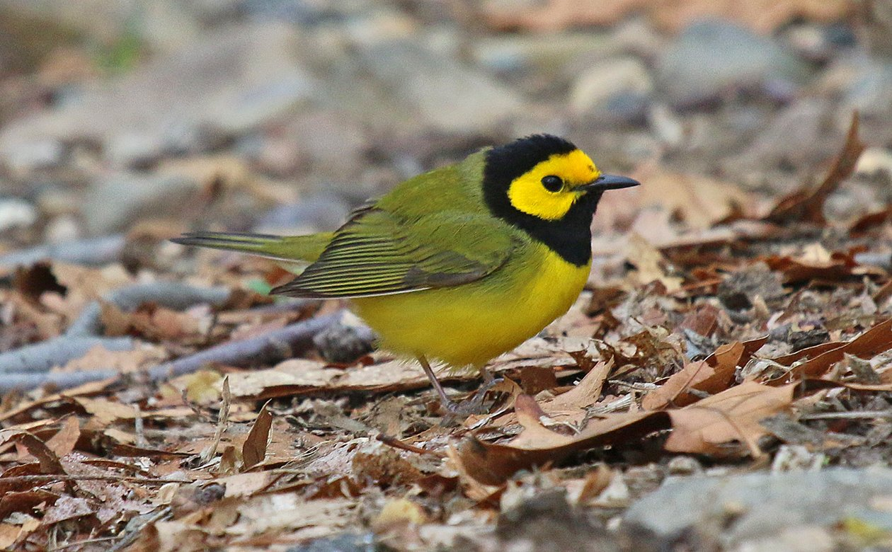 Hooded Warbler big