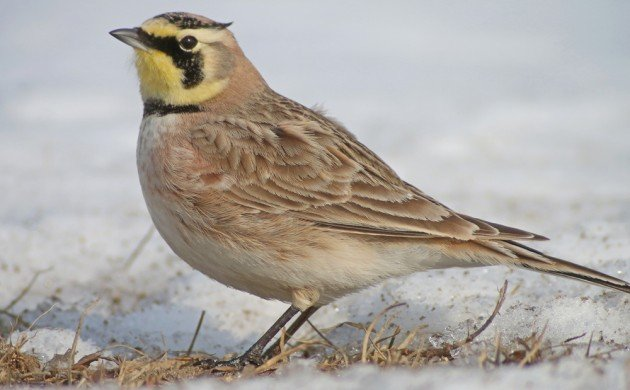 Horned Lark at Jones Beach