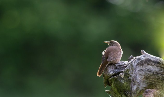 House Wren Anne Green