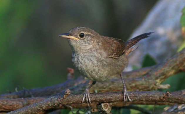 House Wren fledgling