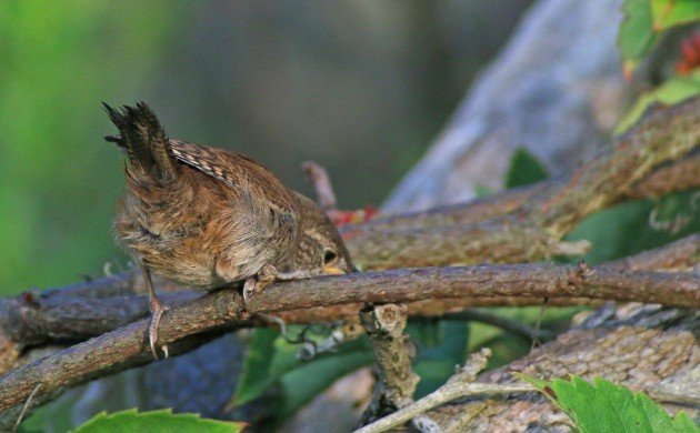 House Wren fledgling getting curious