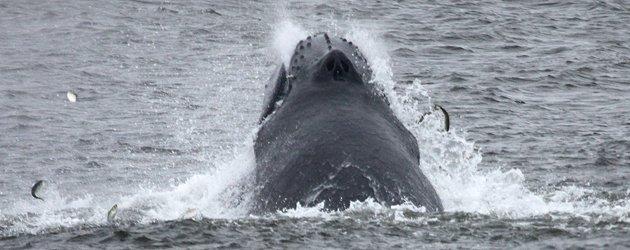 Humpback Whale lunge-feeding