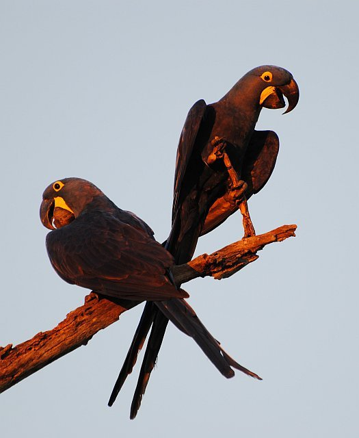 Hyacinth Macaw Sunset