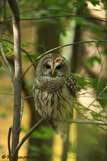 IAD 06Aug14 Barred Owl 03