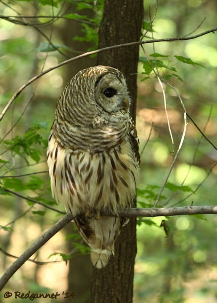 IAD 06Aug14 Barred Owl 12