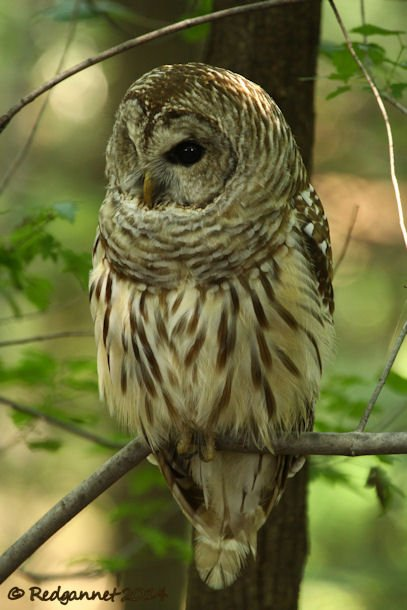 IAD 06Aug14 Barred Owl 15