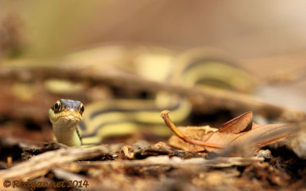 IAH 08Nov14 Gulf Ribbon Snake 02
