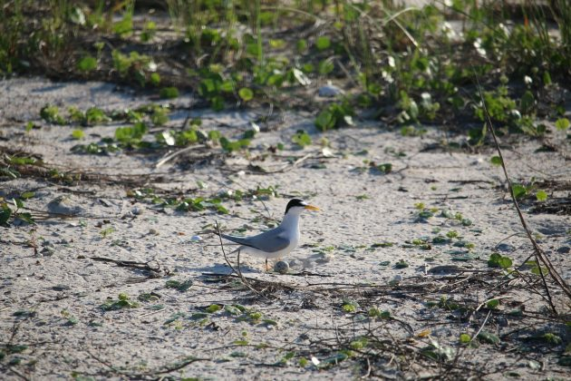 least tern, birding, nature