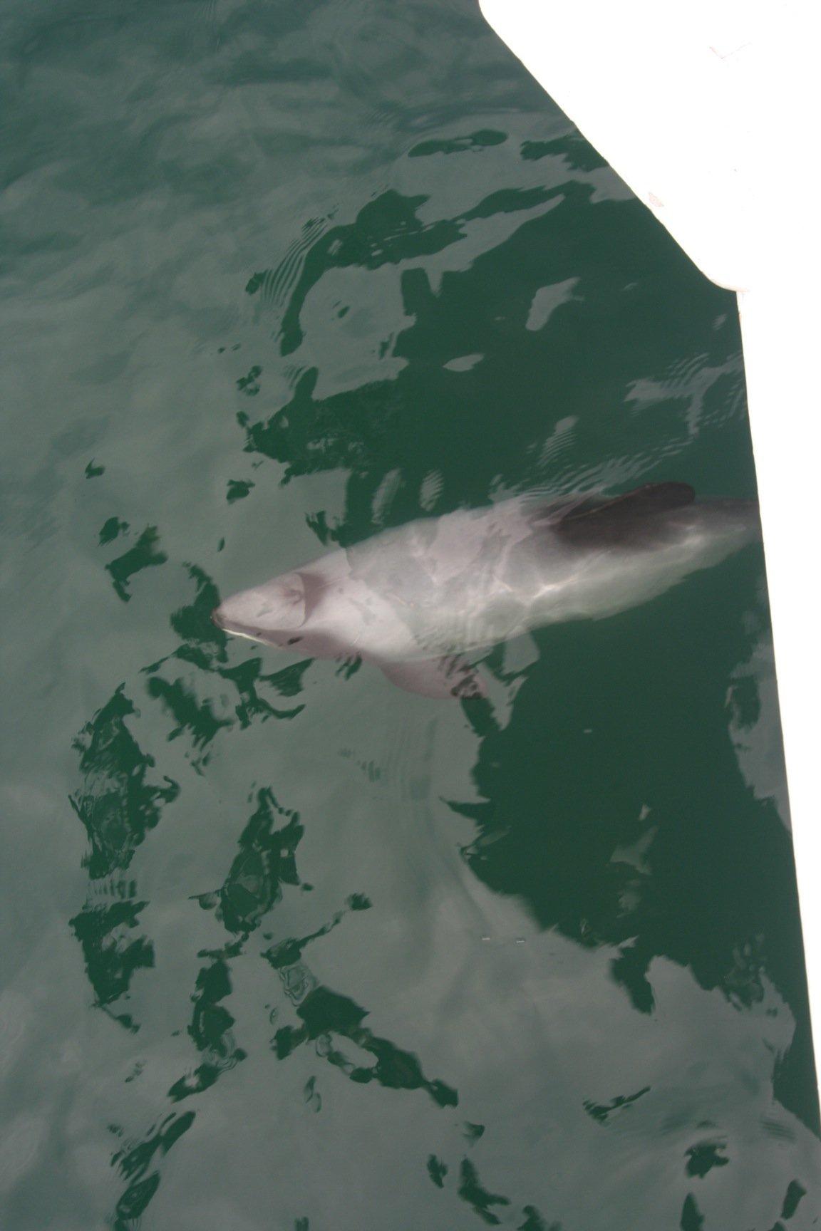 bowriding dolphin