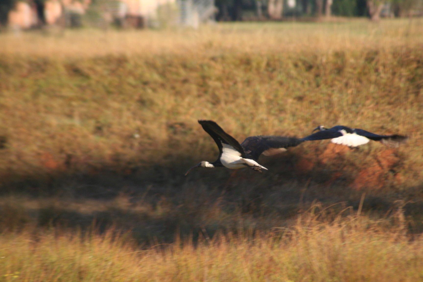 Straw-necked Ibis 2