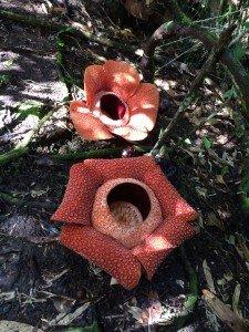 two rafflesia