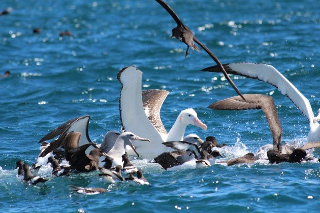 Scrum of seabirds