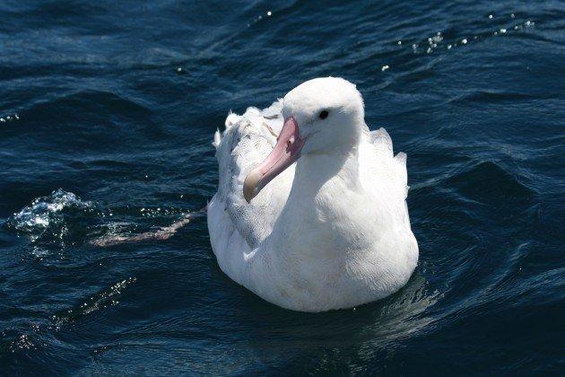 mystery albatross