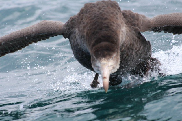 giant petrel running