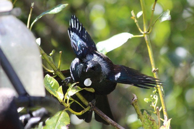 Tui wings