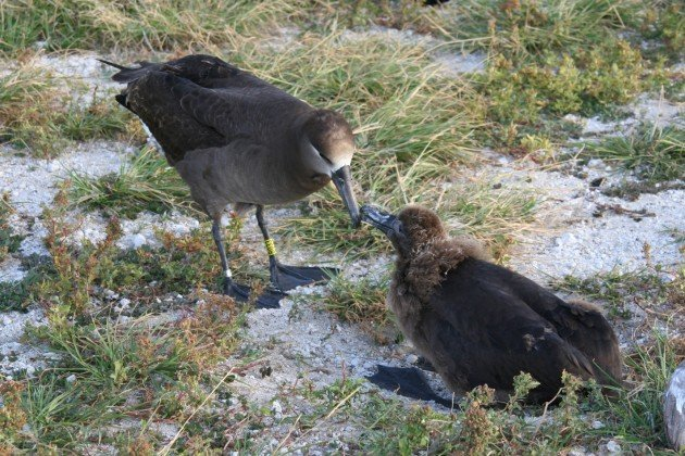 Adult and youngster Black-footed Albatross