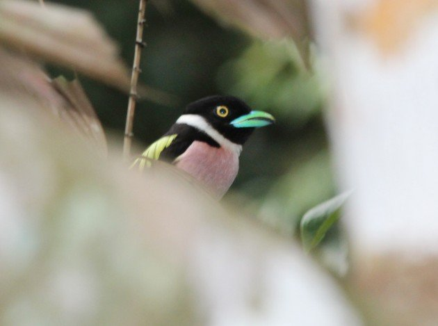 Black and Yellow Broadbill