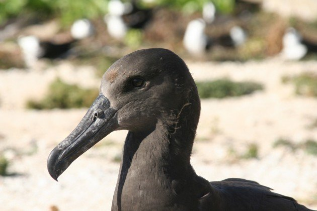 almost fledged black footed albatross