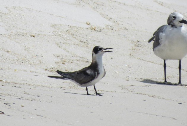 black tern, florida