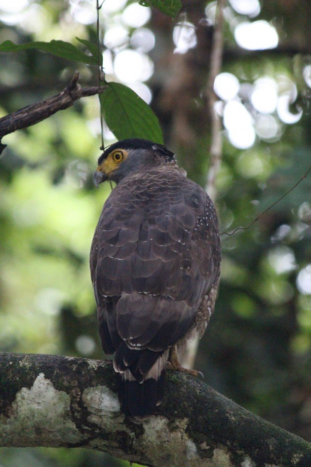 Crested Serpent Eagle 3