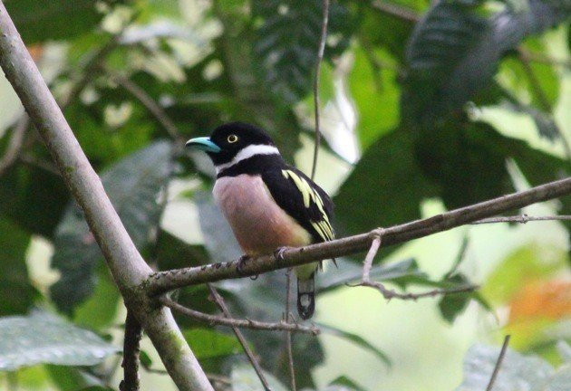 broadbill forest camp