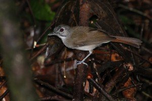 Moustached Babbler