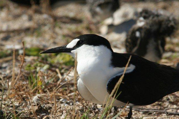 quiet sooty tern