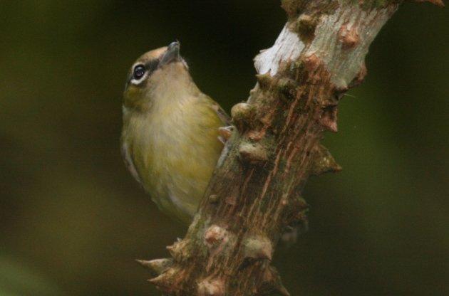 chestnutfronted shrikebabbler